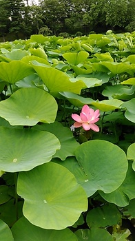 、一輪蓮の花.JPG